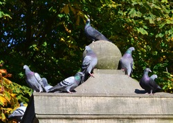 The domestic pigeons, Columba livia domestica sitting on a statue in the autumn, Gdansk Poland