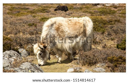 The domestic yak (Bos grunniens) is a long-haired domesticated bovid found throughout the Himalayan region of the Indian subcontinent, #1514814617