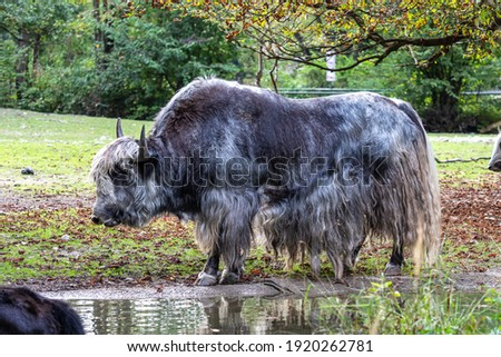 The domestic yak, Bos grunniens is a long-haired domesticated bovid found throughout the Himalayan region of the Indian subcontinent, the Tibetan Plateau and as far north as Mongolia and Russia. Stockfoto ©