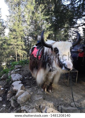 The domestic yak is a long-haired domesticated bovid found throughout the Himalayan region of the Indian subcontinent. #1481208140