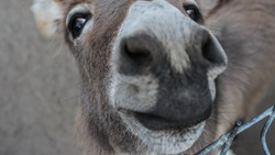 The donkey looks into the camera lens, the muzzle of the donkey is funny, the animal is close-up