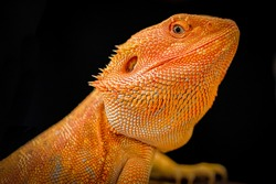 The dragon eye. Close up of Beard Dragon which focus on the eye. This is such a beautiful beard dragon picture. Beard dragon is the reptiles.