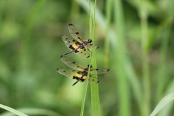 The dragon fly species Rhyothemis variegata sitting on a grass with pair