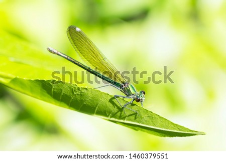 The dragonfly damselfly insect is on green leaf on green background in nature. #1460379551