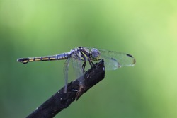 The dragonfly (Odonata) is an apex predator of the insect world.