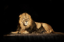 The dreamy look of a lying Asian lion, isolated on black background.