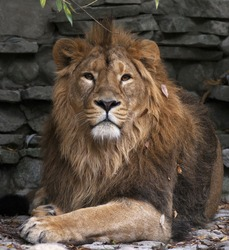 The dreamy look of an Asian lion in autumn fallen leaves, lying on rocky background. The King of beasts, biggest cat of the world. The most dangerous and mighty predator of the world.