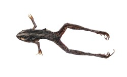 The dried frog is placed separately on a white background.