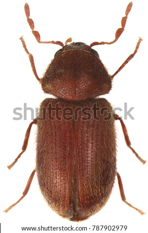 The drugstore beetle (Stegobium paniceum), also known as the bread beetle or biscuit beetle from family Anobiidae. Isolated on a white background