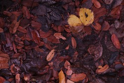 The dry leaves are wet with rain. These leaves are then allowed to rot and become humus.
