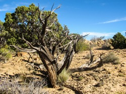 The dry skeletal remains of a dead Utah Juniper in the Bookcliffs of eastern Utah, USA, on a clear sunny day