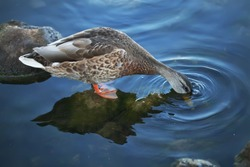 the duck catches bread in the river