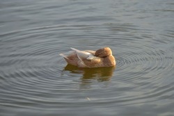 The duck hid its head under the wing and sleeps in a pond. Animal during sleep and rest.