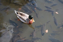 the duck swim in the fish pond