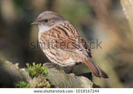 Photo of  The dunnock is a small brown and grey bird Read more at https://www.rspb.org.uk/birds-and-wildlife/wildlife-guides/bird-a-z/dunnock/