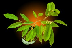 Durian Tree Branch - Free Stock Photo by bang doel on