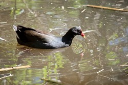 the dusky moorhen is a black water bird with an ourange mantle and yellow at the tip of its beak