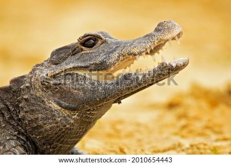 The dwarf crocodile (Osteolaemus tetraspis), also known as the African dwarf crocodile, broad-snouted crocodile or bony crocodile