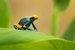 The dyeing dart frog, dyeing poison dart frog, tinc (a nickname given by those in the hobby of keeping dart frogs), or dyeing poison frog (Dendrobates tinctorius) is a species of poison dart frog