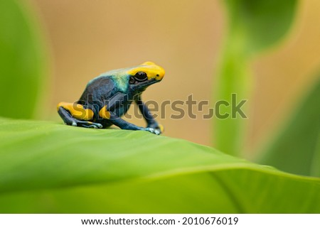 The dyeing dart frog, dyeing poison dart frog, tinc (a nickname given by those in the hobby of keeping dart frogs), or dyeing poison frog (Dendrobates tinctorius) is a species of poison dart frog Stock foto ©