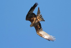 The eagle falls from the sky upside down and upside down, aiming for prey.