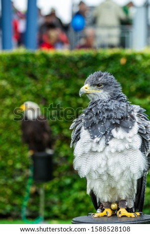 The eagle looks at the spectators from different angles and waits for Komando Zdjęcia stock ©