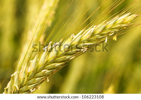 the ear of wheat photographed by a close up during pollination