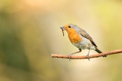 The early bird: ...gets the worm. This is a robin that I have nesting In my garden. I set up near a regularly used perch to wait for this shot.