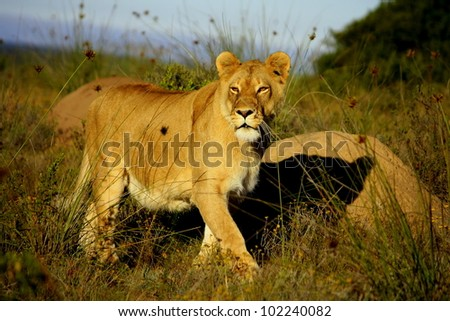The early morning sunlight catches this beautiful majestic lioness on the hunt in this portrait from a safari in Addo elephant national park,Eastern Cape,South Africa