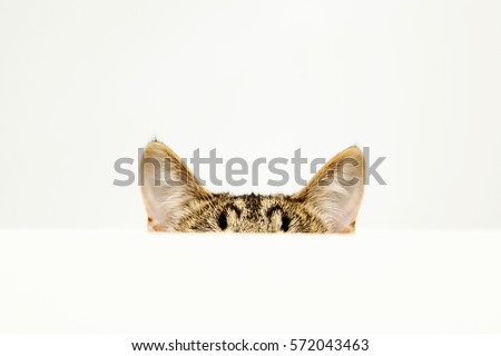 the ears of a cat, over white background #572043463