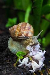 The earth snail in the garden eats a flower blossom. Also known as Helix pomatia, Roman snail, Burgundy snail, edible snail or Escargot. Black soil, green plant leaves