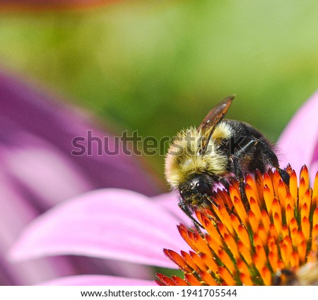The Eastern Bumblebee (Bombus impatiens) is one of the most important native pollinators in eastern N. America.  They pollinate a variety of plants and forage from early spring to late fall. Closeup. Stock photo ©