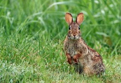 The eastern cottontail (Sylvilagus floridanus) is the most common rabbit species in North America.