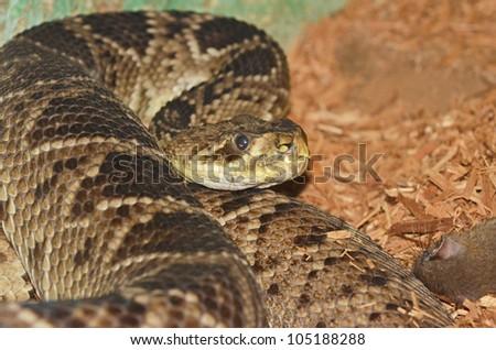 the eastern diamondback rattlesnake (crotalus adamanteus) next to its prey a dead rat.