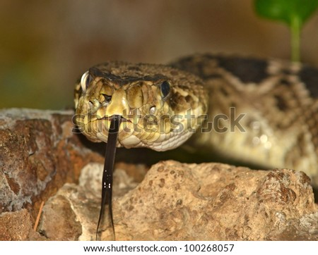 the eastern diamondback rattlesnake using it's forked tongue to sense its environment - stock photo