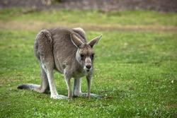 The eastern grey kangaroo eating  grass