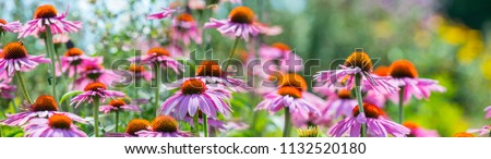 The Echinacea flowers - coneflowers close up in the garden