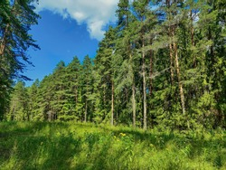 The edge of the protected forest near Koprino, Rybinsky district, Yaroslavl region, Russia. Coniferous forest in the summer day