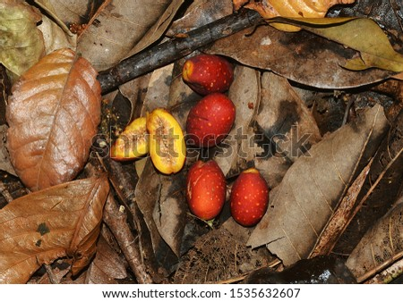 The edible figs of the Drupe Fig or Hairy Fig tree on the rainforest floor of tropical north-eastern Queensland Australia (Ficus drupacea var. drupacea). #1535632607