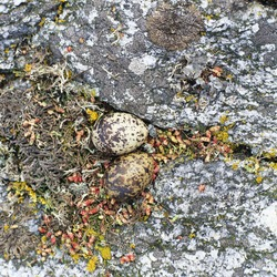 The eggs of the arctic tern on stone