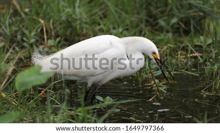The Egrets of Louisiana Swamps