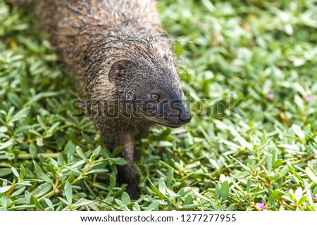 The Egyptian mongoose (Herpestes ichneumon), also known as ichneumon, on the city promenade in Netanya, Israel