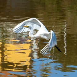 The elegant Great Egret. Great Egrets are tall, long-legged wading birds with long, S-curved necks and long.
