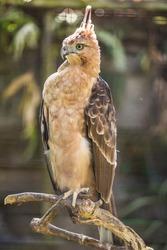 The elegant look for the Javan hawk-eagle