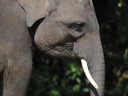 The Elephant big Mamalia