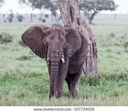 The elephant in Serengeti National Park - Tanzania, East Africa