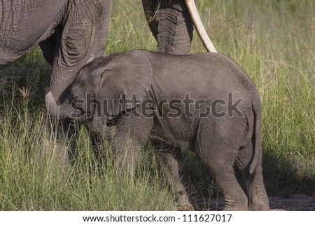 The elephant Mother and Baby