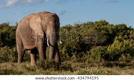 The Elephant - The African bush elephant is the larger of the two species of African elephant. Both it and the African forest elephant have in the past been classified as a single species.