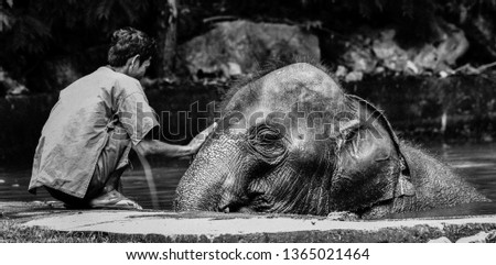 The elephants, the ability of humans to make the largest wildlife in the world can be tamed. It is a bond between each other. Reliance on one another