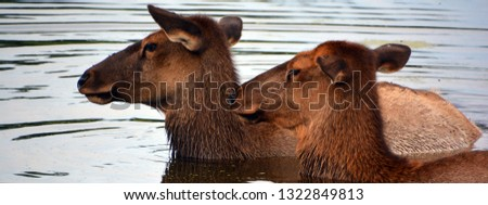 The elk, or wapiti is one of the largest species within the deer family, Cervidae, in the world, and one of the largest land mammals in North America and Eastern Asia.